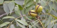 Pecans Hit by Hurricanes, but Growers Hope to Encourage Use beyond Winter Holidays