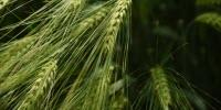 Malting Barley Research Boosts New York Craft Brewing Industry
