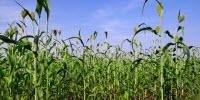 New Sorghum Cultivars Can Produce Thousands of Gallons of Ethanol