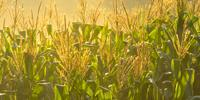 New Study Identifies Genetic Basis for Western Corn Rootworm Resistance in Maize