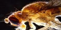 Understanding a Fly's Body Temperature May Help People Sleep Better