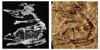 127-Million-Year-Old Baby Bird Fossil Sheds Light on Avian Evolution