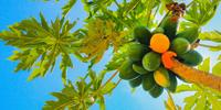 Mechanical Harvesting of Papayas Might Be a Reality with Computational Technique