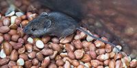 Study: Vaccine Suppresses Peanut Allergies in Mice