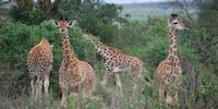 Giraffes Surprise Biologists Yet Again