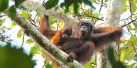 Rethinking the Orangutan