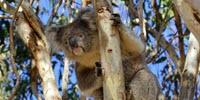 Koala Virus Could Explain Why Humans Have 'Junk' DNA