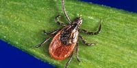 Lyme Disease: A Study on the Speed of Transmission by Infected Ticks