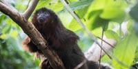 Primates of the Caribbean: Ancient DNA Reveals History of Mystery Monkey