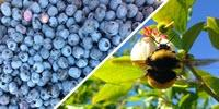 The Secret to Better Berries? Wild Bees