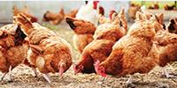 Chickens to Be Marker of Anthropocene