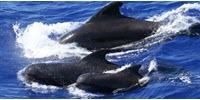 Groups of Pilot Whales Have Their Own Dialects