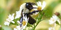 As Bumblebee Diets Narrow, Ours Could Too