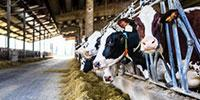 New Dairy Cattle Breeding Method Increases Genetic Selection Efficiency
