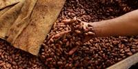 The Flavor of Chocolate Is Developed during the Processing of the Cocoa Beans
