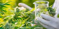 DEA Announces Steps Necessary to Improve Access to Marijuana Research