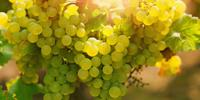 Raising a Glass to Grapes' Surprising Genetic Diversity