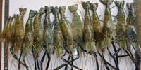 Super Shrimp Could Increase Yield and Prevent Disease