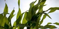 Study Finds Rising Ozone a Hidden Threat to Corn
